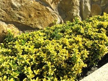 Bienvenidos a nuestro jard n mediterr neo - Arbustos enanos para jardin ...